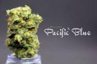 Pacific Blue Marijuana Strain